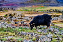 Grazing black sheep. On the field in beautiful Iceland Royalty Free Stock Image