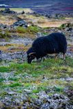Grazing black sheep. On the field in beautiful Iceland Stock Images