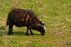 Grazing black sheep Ovis aries Stock Photo