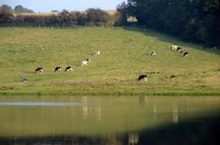 Grazing Cattle Royalty Free Stock Photography