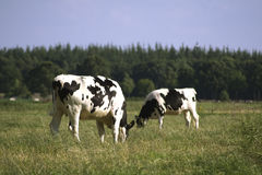 Grazing black and white cows. Two eating dutch friesian black and white cows outside in meadow stock photo