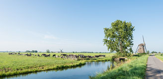 Grazing black and white cows in the Netherlands. Dutch polder landscape with windmills and grazing cows in the pasture next to a ditch Royalty Free Stock Photo