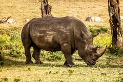 Black White Rhino Stock Photo