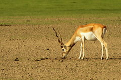 A grazing blackbuck. A blackbuck (Antilope cervicapra) grazing in Tal Chhapar national park in the Shekhawati region, Rajasthan, India Royalty Free Stock Photo