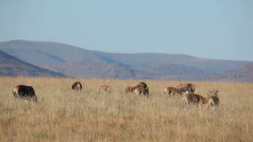 Grazing blesbok antelopes Royalty Free Stock Photos