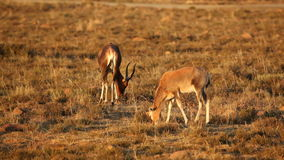 Grazing blesbok antelopes stock video footage