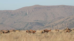 Grazing blesbok antelopes Royalty Free Stock Photo