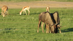 Grazing blue wildebeest stock footage