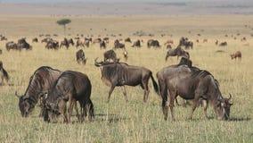 Grazing blue wildebeest stock footage