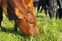 Grazing Bonsmara Stock Images
