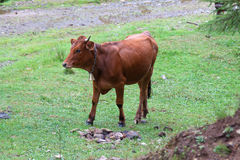 Grazing brown. Cow with a bell on a green meadow Royalty Free Stock Images