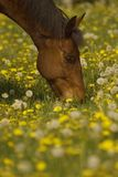 Grazing brown horse. LIke in a dream the horse is surrounded by a huge amount of dandelions grazing with joy Royalty Free Stock Photo