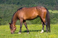 Grazing brown horse. Beautiful Brown horse is grazing on green meadow stock photos
