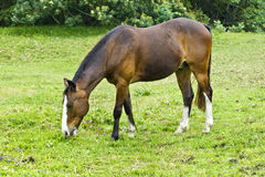 Grazing brown horse Stock Images