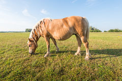 Grazing brown horse with braided mane. Royalty Free Stock Images