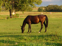 Grazing brown Horse on the green Field Royalty Free Stock Image