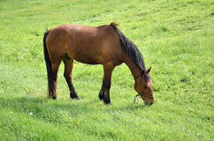 Grazing brown horse on green field Royalty Free Stock Photos
