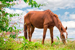 Grazing brown Horse on the green Pasture Royalty Free Stock Photos