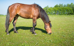 Grazing brown horse in the sunny meadow Stock Image