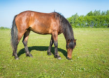 Grazing brown horse in the sunny pasture royalty free stock image
