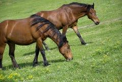 Grazing brown horses Stock Photos