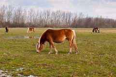 Grazing brown horses at a wet grassland Stock Photos