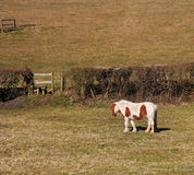 Grazing Brown and White Horse Royalty Free Stock Photos
