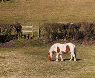 Grazing Brown and White Horse Stock Images