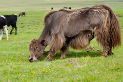 Grazing brown yak Royalty Free Stock Photo