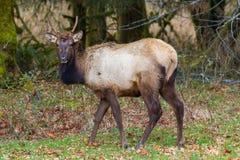 Grazing Buck Elk Royalty Free Stock Image