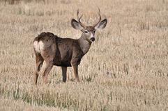 Grazing Buck In Farmers Pasture Royalty Free Stock Photos