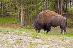 Grazing Buffalo Stock Photography
