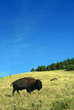 Grazing Buffalo. A grazing buffalo in a field in Montana on a beautiful summer's day Stock Photo
