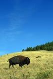Grazing Buffalo Stock Photo