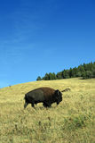 Grazing Buffalo. A grazing buffalo in a field in Montana on a beautiful summer's day Stock Images