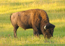Grazing buffalo Stock Image