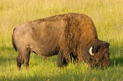 Grazing buffalo Stock Photography