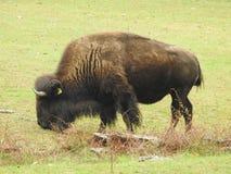 Closeup American Bison on a Pasture. Grazing Buffalo grass green brown big symbol bovine Stock Photography