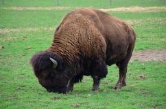 Grazing Buffalo in Mendon, NY Royalty Free Stock Photos