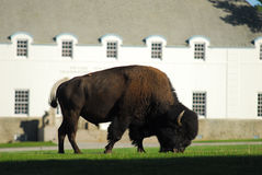 Grazing Bull. Large Bull Bison Grazes in Mammoth Hot Springs, Wyoming stock image