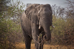 Grazing bull elephant Royalty Free Stock Image