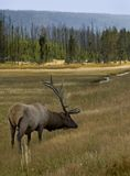 Grazing Bull Elk Royalty Free Stock Photography
