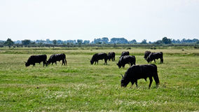 Grazing Bulls Stock Images