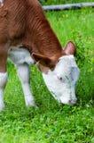 Grazing calf Stock Images