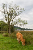 Grazing Calf in Ambleside countryside, Cumbria, UK. Grazing Calf in the countryside of Ambleside on Lake Windermere in Cumbria, UK Royalty Free Stock Photo