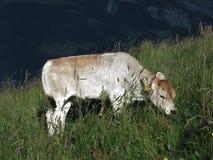 Grazing calf Royalty Free Stock Image
