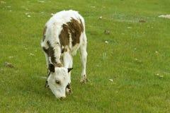 Grazing calf Stock Image