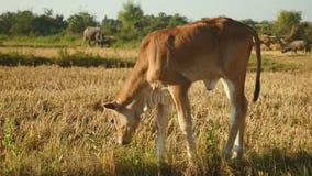 Grazing calf stock video footage