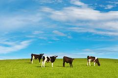 Grazing calves Royalty Free Stock Photography