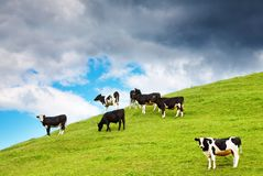 Grazing calves Stock Photography